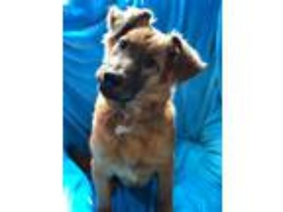 Adopt Charlie a Brown/Chocolate - with Tan Collie / Australian Shepherd / Mixed