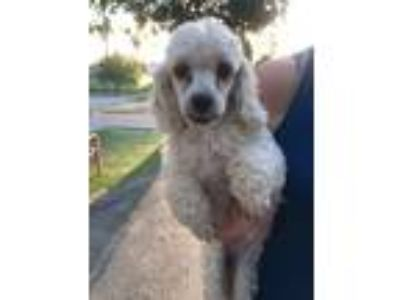 Adopt Abby a White Cocker Spaniel / Poodle (Miniature) / Mixed dog in Temecula