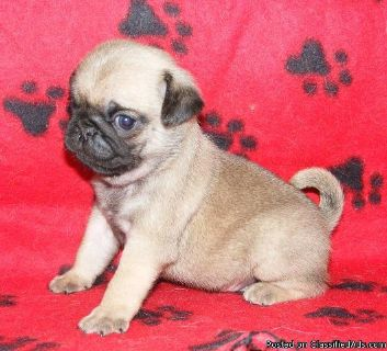 AKC Top Quality Pug Puppies Ready Now!