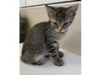 Adopt Opal a Domestic Short Hair