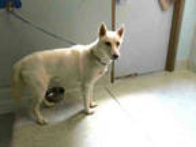 Adopt PIPER a White Husky / Mixed dog in Tallahassee, FL (25612234)