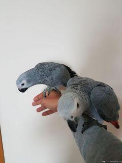 bdvg,African grey congo babies ready