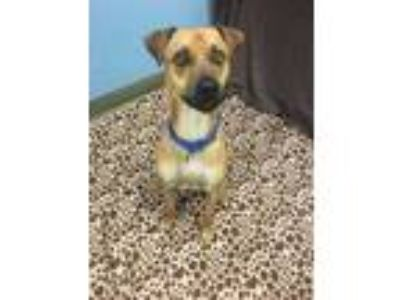 Adopt Scooby a Tan/Yellow/Fawn Terrier (Unknown Type, Small) / Mixed dog in