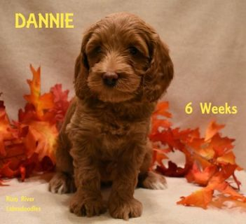 Australian Labradoodle PUPPY FOR SALE ADN-104718 - Red Mini to Medium Australian Labradoodles