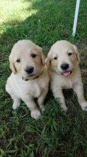 Golden Retriever PUPPY FOR SALE ADN-94569 - AKC Registered Golden Retriever Puppies