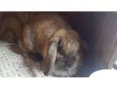Adopt Quila a Chocolate Lop, Holland / Mixed (short coat) rabbit in Williston