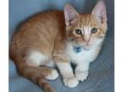 Adopt Julius-ADOPTED a American Shorthair, Domestic Short Hair