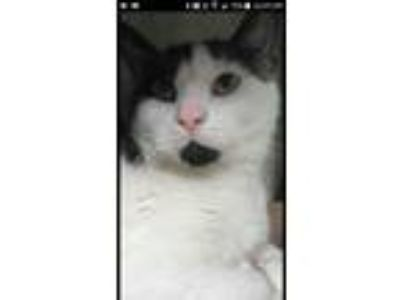 Adopt Snoopy a Black & White or Tuxedo Domestic Shorthair cat in Laurel