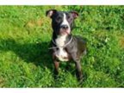 Adopt MARGARET a Pit Bull Terrier, Mixed Breed
