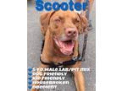 Adopt Scooter a Labrador Retriever, Pit Bull Terrier
