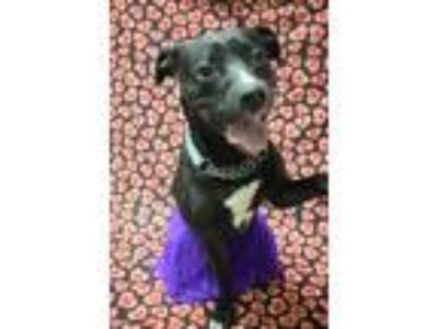 Adopt Millie-sponsored a Labrador Retriever, Pit Bull Terrier