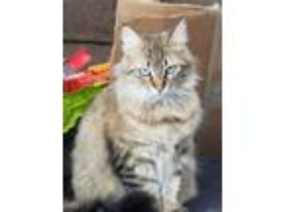 Adopt Mamacita a Tan or Fawn Tabby Domestic Mediumhair (medium coat) cat in San