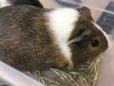 Adopt APRICOT a Black Guinea Pig / Mixed small animal in Garland, TX (25590217)