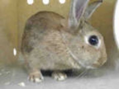 Adopt RAVIOLIS a Black Other/Unknown / Mixed rabbit in Downey, CA (25556848)