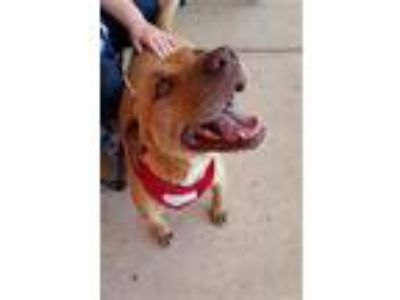 Adopt Daphne a Boxer, Pit Bull Terrier