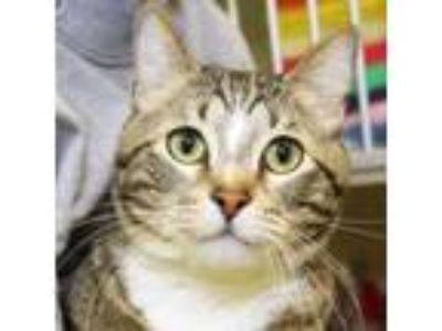 Adopt Alfonz a Domestic Short Hair