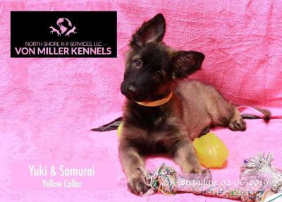 German Shepherds AKC limited Registration