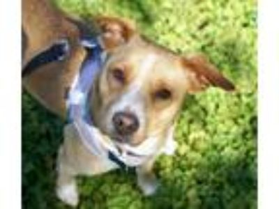 Adopt Angel a Tan/Yellow/Fawn - with White Jack Russell Terrier dog in