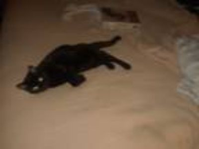 Adopt Miss Kitty a Black (Mostly) Domestic Shorthair / Mixed cat in New