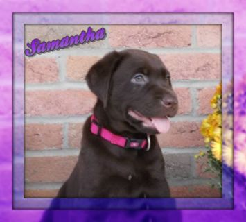 Samantha Female AKC Labrador Retriever