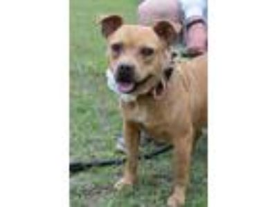 Adopt Maya a Tan/Yellow/Fawn - with White Pit Bull Terrier / Mixed dog in