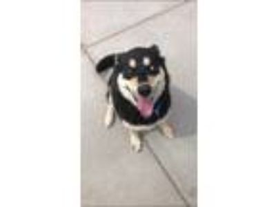 Adopt Shelly a Black Husky / Mixed dog in Cheyenne, WY (25404534)