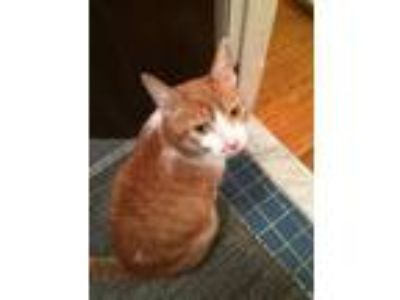 Adopt Ms. Kitty a Domestic Short Hair