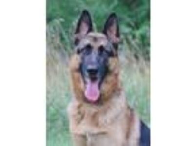 Adopt Rian a Black - with Tan, Yellow or Fawn German Shepherd Dog / Mixed dog in
