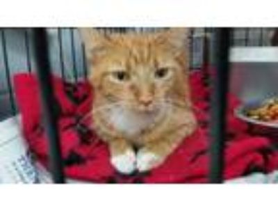 Adopt BOBOO a Tan or Fawn Domestic Shorthair / Domestic Shorthair / Mixed cat in
