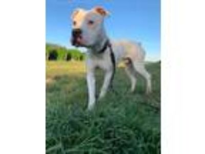 Adopt Romeo a Pit Bull Terrier, Boxer