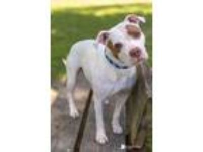 Adopt Savannah a White American Pit Bull Terrier / Mixed dog in Kenosha