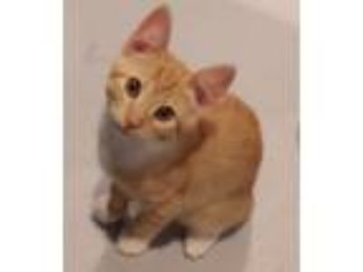 Adopt SHANE a Orange or Red Tabby Domestic Shorthair (short coat) cat in