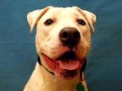 Adopt Latios a White American Pit Bull Terrier / Mixed dog in Golden Valley