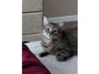 Adopt Echo a Brown Tabby Domestic Shorthair / Mixed cat in Bradenton