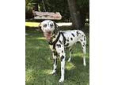 Adopt Yoshi a Brown/Chocolate - with White Dalmatian dog in Rock Hill
