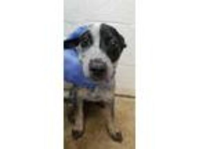 Adopt Daisy a Gray/Blue/Silver/Salt & Pepper Australian Cattle Dog / Mixed dog