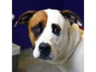 Adopt Riley a White - with Brown or Chocolate Pointer / Great Dane / Mixed dog