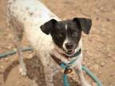 Adopt ANGIE a Rat Terrier, Mixed Breed
