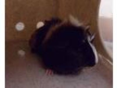 Adopt Gus Gus a Black Guinea Pig / Guinea Pig / Mixed small animal in Reno