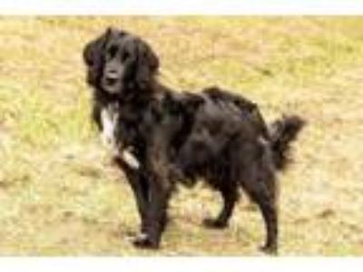Adopt Churchill a English Setter, Labrador Retriever