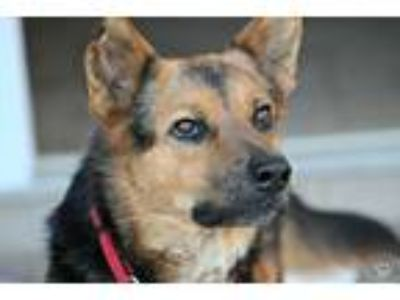 Adopt Buddy a Tricolor (Tan/Brown & Black & White) German Shepherd Dog / Mixed