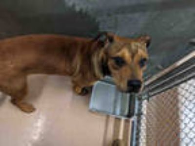 Adopt JEROME* a Brown/Chocolate - with Black German Shepherd Dog / Mixed dog in