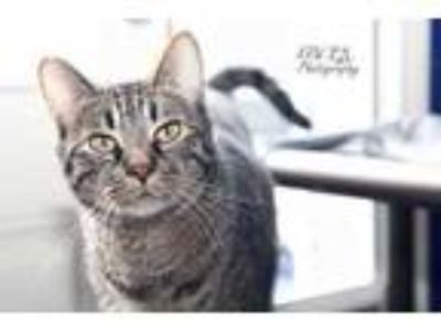 Adopt Solo Lil Kitten a Brown or Chocolate Domestic Shorthair / Domestic