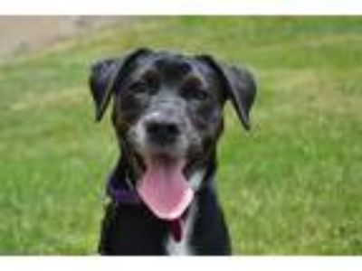 Adopt Dixie - puppy a Black - with White Labrador Retriever / Mixed dog in
