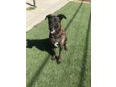 Adopt Chance a Brindle Shepherd (Unknown Type) / Bull Terrier / Mixed dog in