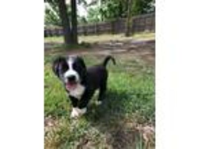 Adopt Hoss a Collie, Mixed Breed