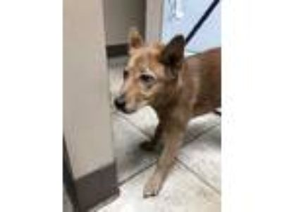 Adopt Mario a Red/Golden/Orange/Chestnut German Shepherd Dog / Chow Chow / Mixed