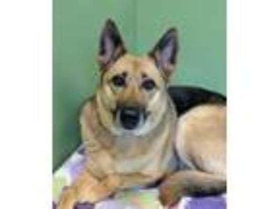 Adopt Madigan a German Shepherd Dog