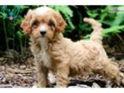 Lilly - Cavapoo Female