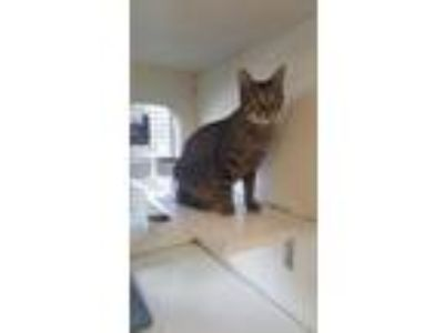 Adopt Dori a Domestic Short Hair